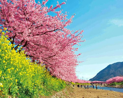 もうすぐ咲くよ桜が咲くよ♪後何年見れるかな・・・(静岡県)