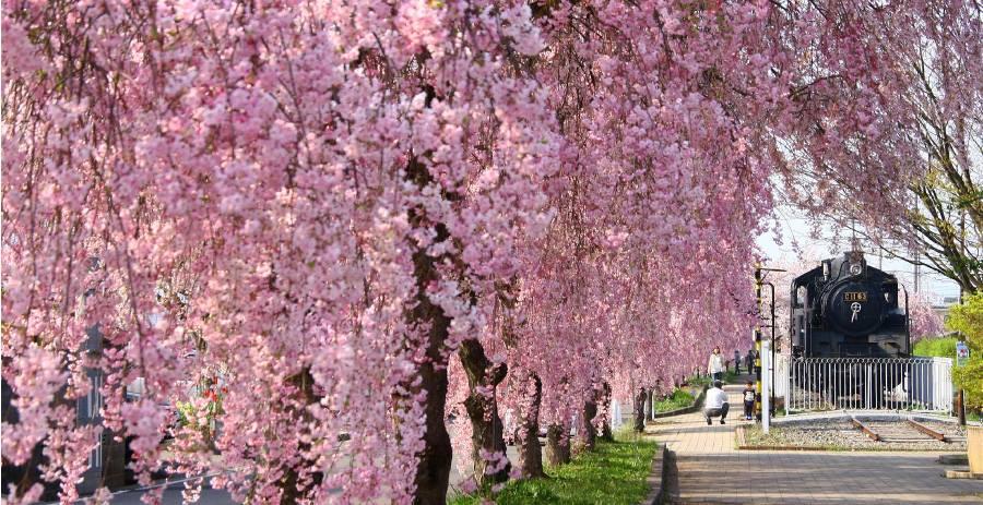 日中線記念自転車歩行者のしだれ桜 (福島県喜多方市)