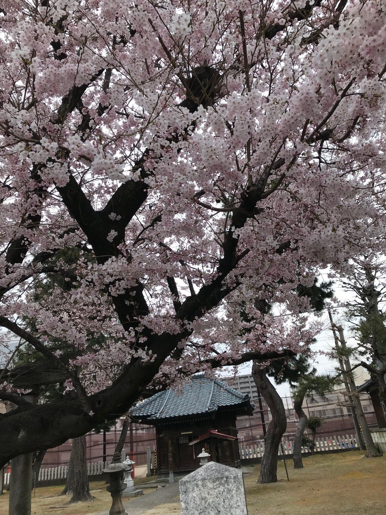 さくら咲いてます!(新潟県新潟市)