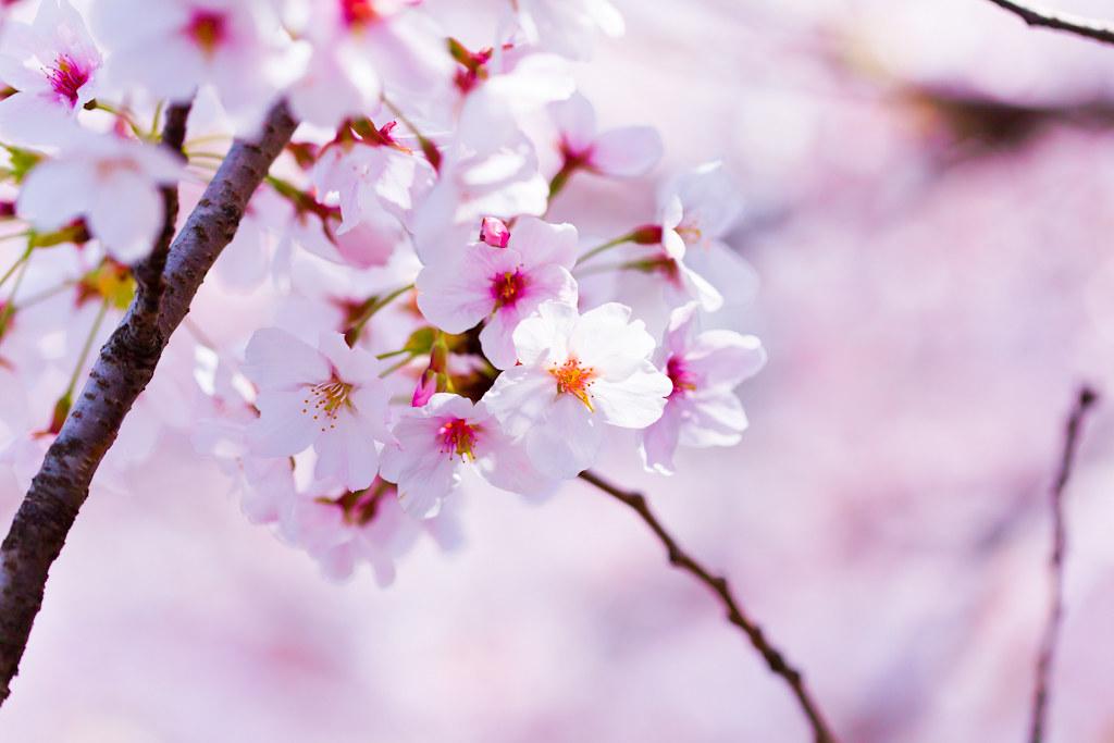 【宝塚店】夙川の河川敷 桜の開花予測