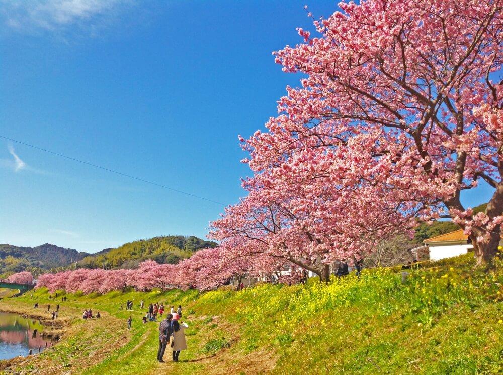 【沼津駅北店】みなみの桜と菜の花まつり